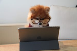 Fluffy red pomeranian with glasses stares at iPad while possibly searching for SEO keywords.